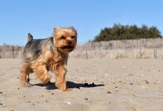 Yorkshire terrier on a beach Stock Photos