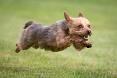 Yorkshire Terrier. A Yorkshire Terrier at the beach Stock Photo