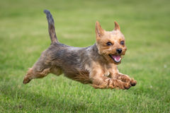 Yorkshire Terrier. A Yorkshire Terrier at the beach Stock Images
