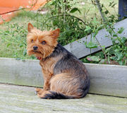 Yorkshire terrier on beach hut decking Stock Photography