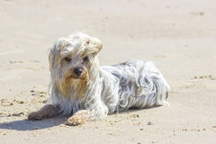 Yorkshire terrier on the beach, windy day Stock Photos