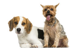 Yorkshire Terrier and Beagle puppy next to each other Stock Images