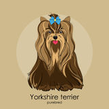 Yorkshire terrier. Beautiful dog of breed Yorkshire Terrier in the background Stock Photography