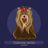 Yorkshire terrier. Beautiful dog of breed Yorkshire Terrier in the background Stock Photos