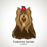 Yorkshire terrier. Beautiful dog of breed Yorkshire Terrier in the background Stock Photo