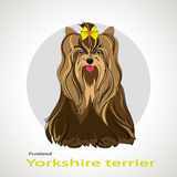 Yorkshire terrier. Beautiful dog of breed Yorkshire Terrier in the background Stock Image