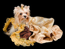 Yorkshire terrier with beautiful dress Stock Images