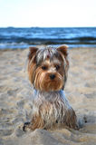 Yorkshire terrier. Beautiful and preety york on the beach Royalty Free Stock Photography