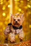 Yorkshire terrier at home new year 2018 with glowing golden bokeh as background Stock Photography