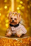 Yorkshire terrier at home new year 2018 with glowing golden bokeh as background Royalty Free Stock Images