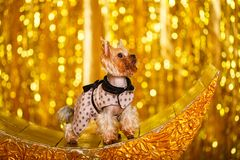 Yorkshire terrier at home new year 2018 with glowing golden bokeh as background Royalty Free Stock Photos