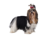 Yorkshire terrier, beave Royalty Free Stock Photography