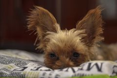 Yorkshire Terrier on bed. Yorkshire Terrier lying on bed royalty free stock image