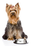 Yorkshire Terrier  begging for food. looking at ca Stock Photography