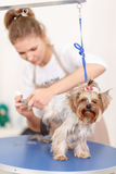 Yorkshire terrier is being groomed Royalty Free Stock Image