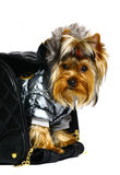 Yorkshire terrier in the big black bag. Stock Images