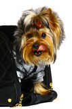 Yorkshire terrier in the big black bag. Royalty Free Stock Photos