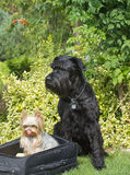 Yorkshire Terrier and Big Black Schnauzer Dog Royalty Free Stock Photo