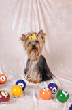 Yorkshire terrier with billiards balls Royalty Free Stock Photography