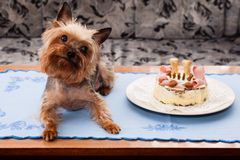 Yorkshire terrier birthdays Stock Image