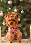Yorkshire terrier, a bit and a lovely doggie in a festive Christmas and New Year`s interior against the background of a Christmas. Tree and the big clock royalty free stock images