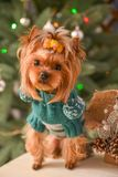 Yorkshire terrier, a bit and a lovely doggie in a festive Christmas and New Year`s interior against the background of a Christmas. Tree and the big clock stock photo