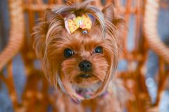 Yorkshire terrier, a bit and a lovely doggie in a festive Christmas and New Year`s interior against the background of a Christmas stock images