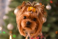 Yorkshire terrier, a bit and a lovely doggie in a festive Christmas stock photography