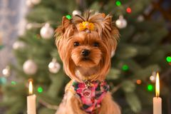 Yorkshire terrier, a bit and a lovely doggie in a festive Christmas and New Year`s interior against the background of a Christmas. Tree and the big clock royalty free stock photography