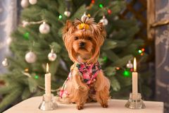 Yorkshire terrier, a bit and a lovely doggie in a festive Christmas and New Year`s interior against the background of a Christmas. Tree and the big clock stock images