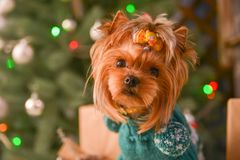 Yorkshire terrier, a bit and a lovely doggie in a festive Christmas and New Year`s interior against the background of a Christmas. Tree and the big clock stock image