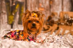 Yorkshire terrier, a bit and a lovely doggie in a festive Christmas and New Year`s interior against the background of a Christmas. Tree and the big clock stock photography