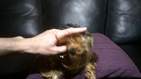 Yorkshire Terrier biter fingret av hans förlage stock video