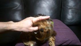 Yorkshire Terrier bites the finger of his master stock video