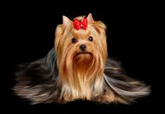 The Yorkshire Terrier on the black background Stock Images