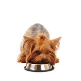 Yorkshire terrier with bowl Royalty Free Stock Photography