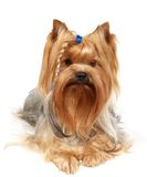 Yorkshire Terrier with braid Stock Images