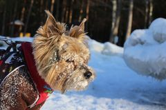 Yorkshire Terrier in bright winter clothes on ice on a sunny day. yorkshire terrier muzzle in the snow royalty free stock photography