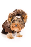 Yorkshire Terrier with brown winter jacket - Dog Stock Images
