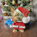 Yorkshire terrier Cão com árvore de Natal imagem de stock