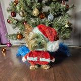 Yorkshire terrier Cão com árvore de Natal fotos de stock royalty free