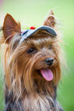 Yorkshire terrier in a cap Stock Images