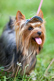 Yorkshire terrier in a cap Royalty Free Stock Photo