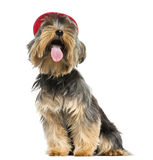 Yorkshire Terrier with a cap, panting, looking up. 9 months old, isolated on white Royalty Free Stock Photo