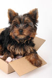 Yorkshire Terrier in cardboard box Royalty Free Stock Photography