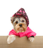 Yorkshire Terrier. In cardboard box on white Stock Photo