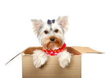 Yorkshire Terrier. In cardboard box on white Royalty Free Stock Images