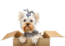 Yorkshire Terrier. In cardboard box on white Royalty Free Stock Image