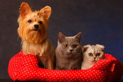 Yorkshire Terrier and cat Stock Photography