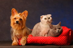 Yorkshire Terrier and cat Royalty Free Stock Images